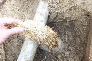 トイレ配管から取り出した木の根