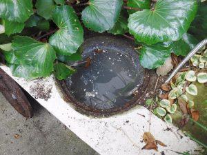 汚水で溢れそうになっている排水マス