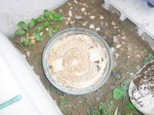 汚水が溢れてきている排水マス