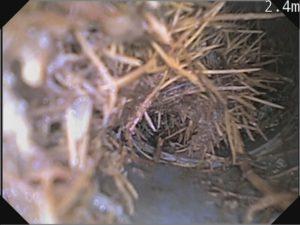 木の根が排水管内ではびこっている様子